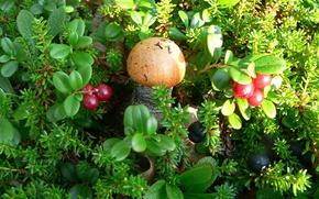 Picture forest, berries, Mushroom, podosinoviki