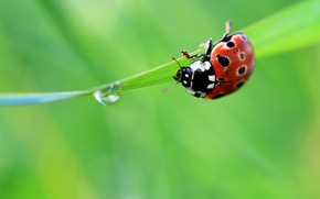 Picture summer, grass, green, drop, ladybug