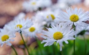 Picture macro, chamomile, petals