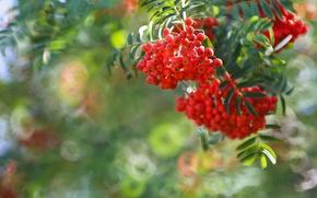 Picture berries, branch, Rowan, bokeh, bunches of Rowan