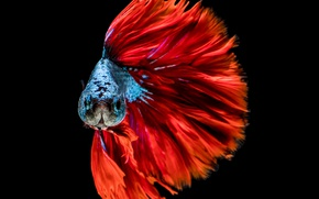 Picture colors, red, blue, fish, head