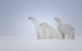 Picture snow, family, bears, three, white, Blizzard
