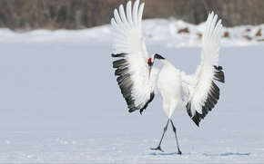 Wallpaper winter, snow, bird, wings, dance, Japanese crane