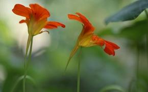 Picture flowers, background, blur, red-orange