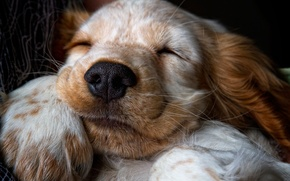 Wallpaper puppy, Spaniel, snoozing, Sonia, wool, nose, paw