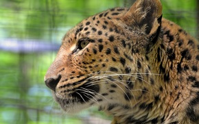 Wallpaper mustache, look, face, leopard, leopard, sad, a large spotted cat, panthera pardus