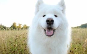 Wallpaper dog, Samoyed, face