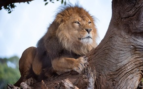 Picture tree, Leo, the king of beasts
