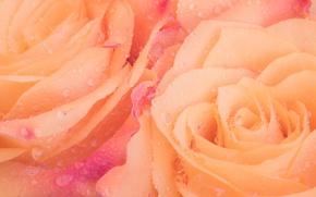 Picture drops, petals, roses