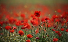 Picture flowers, Maki, red poppies