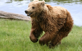 Picture grass, river, bear
