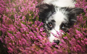 Picture face, flowers, close-up, portrait, dog, meadow, the border collie, Wallpaper from lolita777
