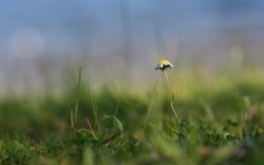 Wallpaper Green, grass, Daisy