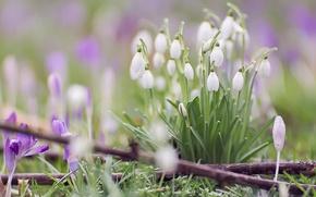 Picture macro, spring, snowdrops, crocuses, bokeh