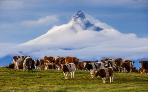 Picture clouds, mountain, the volcano, cows, Chile, Andes, Puntiagudo-Cordon-Senios