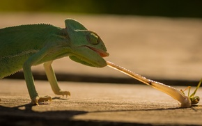 Picture language, face, chameleon, green, food, lizard, insect, hunting, eyes, beauty, lizard, lunch, reptile, chameleon, lizard, …