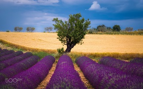Picture wheat, field, summer, the sky, nature, tree, lavender