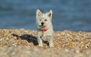 Picture stones, dog, The West highland white Terrier