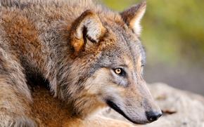 Picture animal, wolf, predator