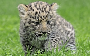 Picture grass, Leopard, baby