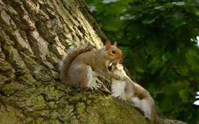 Picture love, tree, bark, a couple, lovers, proteins, squirrel love