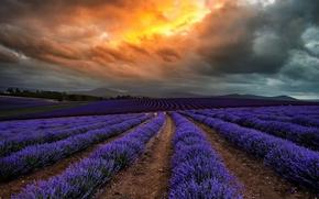 Picture field, clouds, flowers, clouds, nature, Australia, lavender, Tasmania