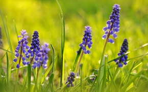 Picture macro, Muscari, Viper onion, Hyacinth mouse