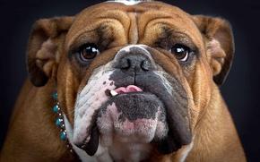 Picture language, face, bulldog