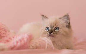 Picture cat, eyes, look, kitty, background, pink, fluffy, lies, kitty, cutie, blue-eyed, ragdoll, knitted thing