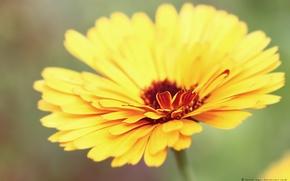 Wallpaper macro, petals, yellow