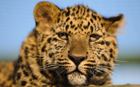 Picture cat, look, face, leopard, cub, kitty, Amur