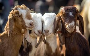 Wallpaper baby, goats, Four