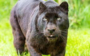 Picture cat, look, face, black, Panther, leopard