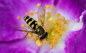 Wallpaper flower, bee, paint, petals, stamens, insect, drone
