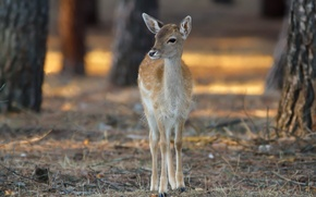 Picture nature, deer, Bambi