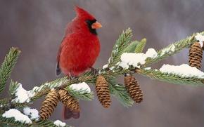Picture bird, branch, bumps, cardinal