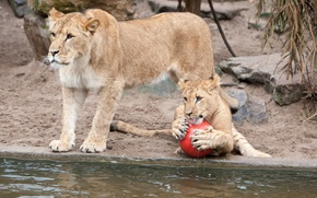 Picture cats, the game, the ball, claws, lions, lioness, pond, lion