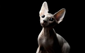 Picture eyes, cat, look, bald, Sphynx