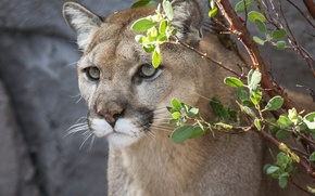 Picture face, Puma, wild cat, mountain lion, Cougar