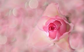 Picture flower, rose, petals, Bud, Blik