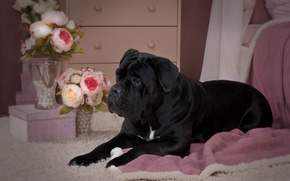 Picture flowers, black, roses, dog, puppy, cane Corso