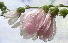 Picture drops, macro, pink, texture, buds, mallow