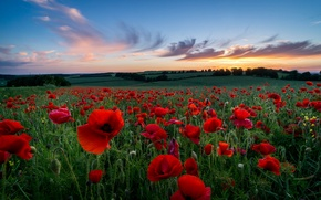Picture field, the sky, grass, clouds, trees, sunset, flowers, nature, hills, glade, the evening, petals, Maki, ...