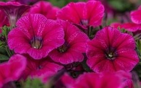Picture macro, raspberry, Petunia