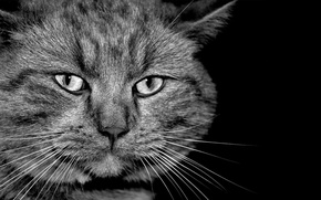 Picture cat, grey, black and white, serious