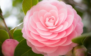 Picture flower, leaves, branch, buds, Camellia