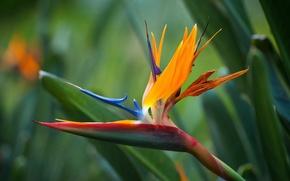Picture flower, orange, the strelitzia Royal