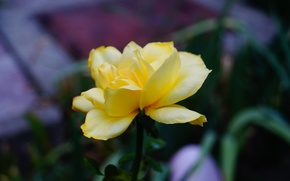 Picture flower, macro, flowers, yellow
