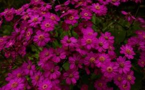 Picture Flowers, flowers, dark pink, dark pink
