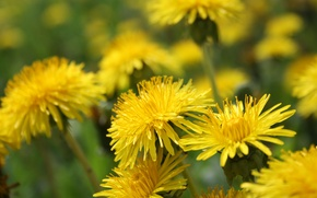 Picture field, nature, dandelion, petals, meadow